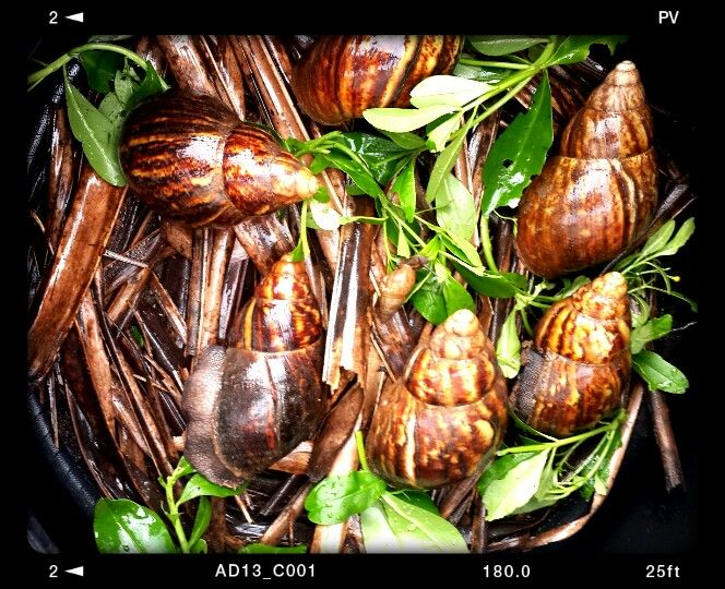Snail Farming in Nigeria Made Simple!